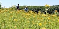 На Чигиринщині відкрили унікальне місце масового цвітіння арніки